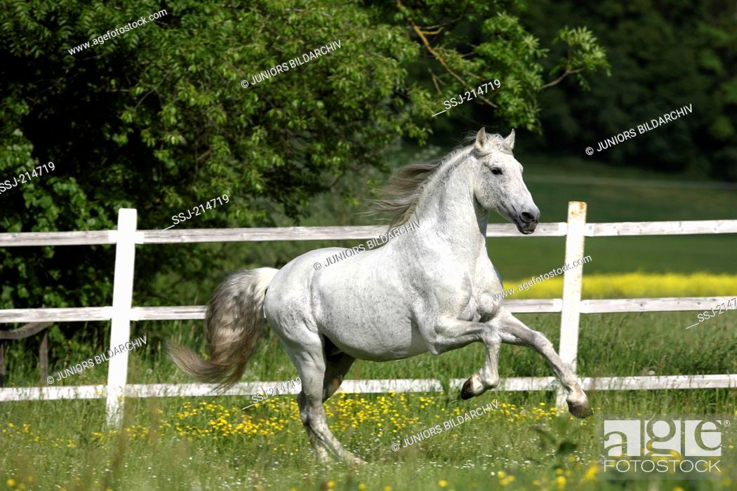Stock Photo: Pure Spanish Horse, Andalusian. Gray stallion galloping on a flowering meadow. Germany.