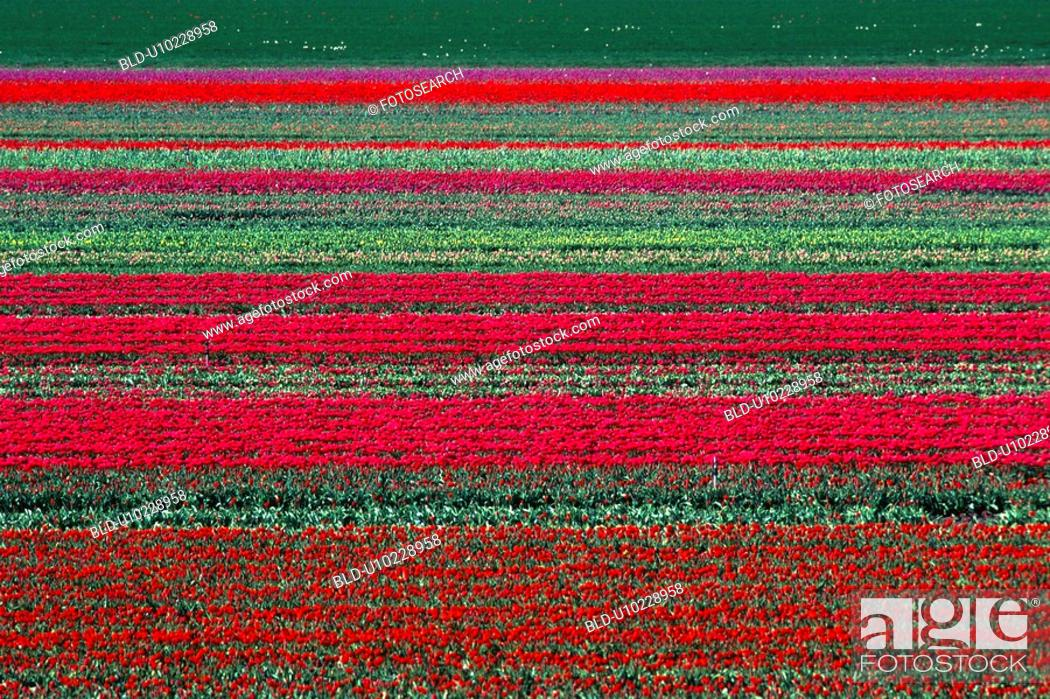Stock Photo: Field of red tulips in rows.
