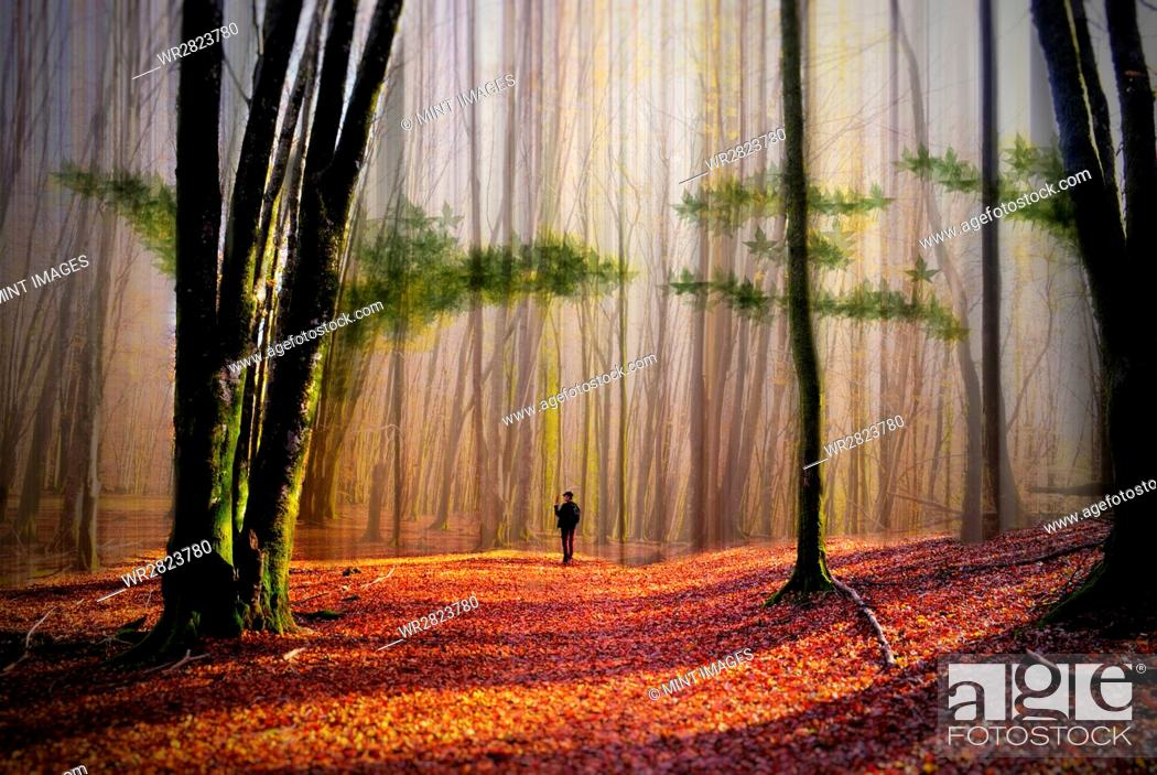 Stock Photo: A person walking in a woodland of tall trees with sun shining on the ground covered with autumn leaves.