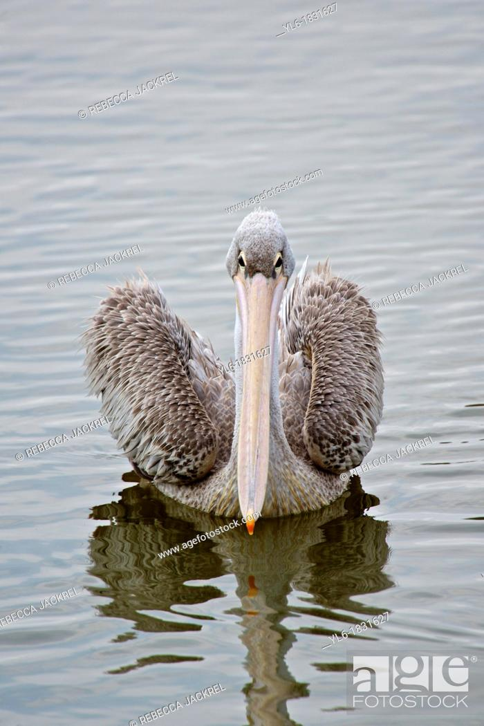 Stock Photo: A pink-backed pelican swimming in a lake in Ethiopia.