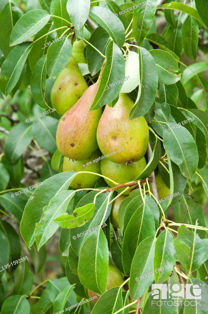 Stock Photo: Pear tree Pyrus communis with fruits, Cerdanya valley, Spain.
