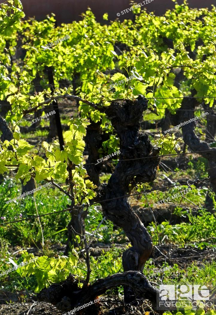 Stock Photo: A spring Vineyard in the Hérault, Southern France.