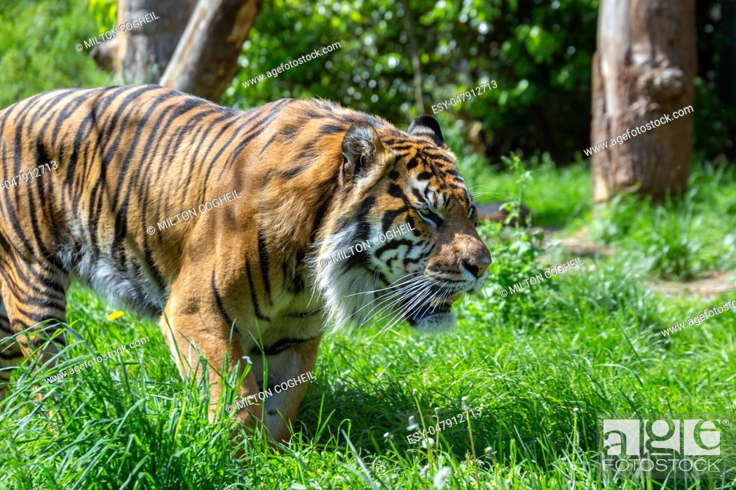 Stock Photo: A prowling Sumatran Tiger. The Sumatran tiger is one of the smallest tigers, about the size of a leopard, and is critically endangered.