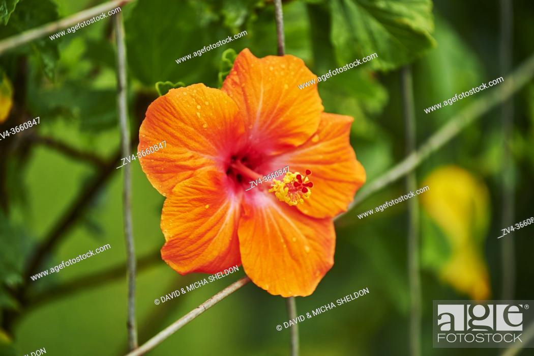 Stock Photo: Chinese hibiscus (Hibiscus rosa-sinensis) blossom, Hawaiian Island Oahu, Hawaii, Aloha State, United States.