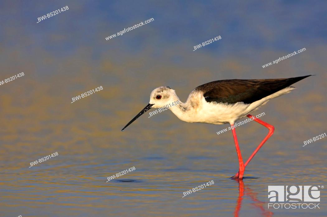 Stock Photo: black-winged stilt (Himantopus himantopus), foraging in the water, Greece, Lesbos.