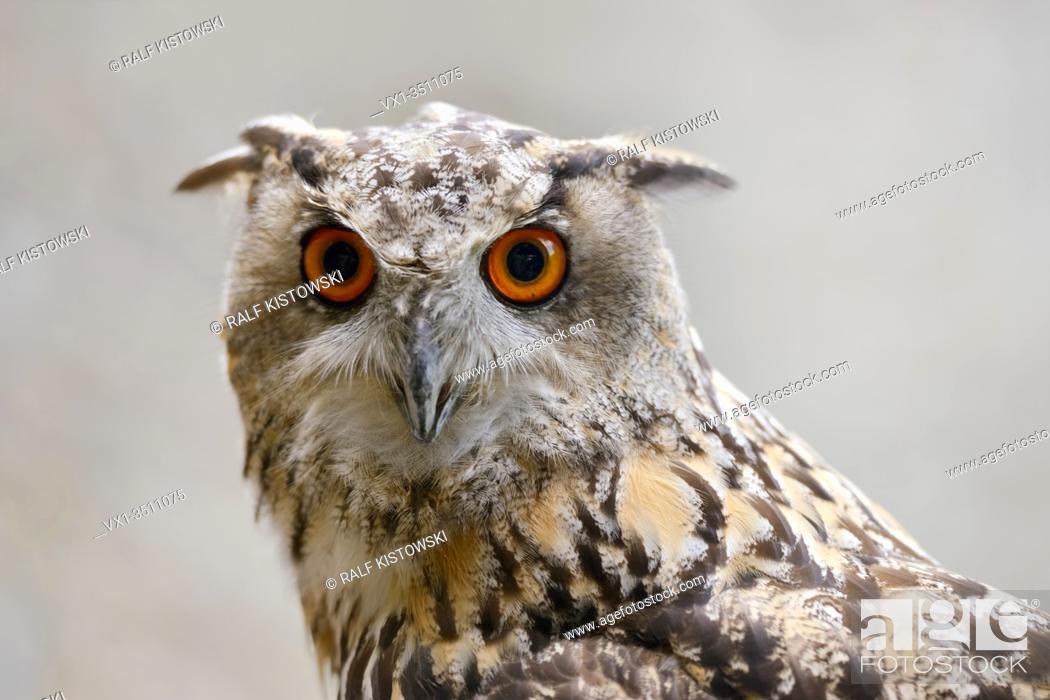 Imagen: Eagle Owl ( Bubo bubo ), Eurasian Eagle-Owl, also called Northern Eagle Owl or European Eagle-Owl, adult, detailed headshot, frontal view, Europe. .