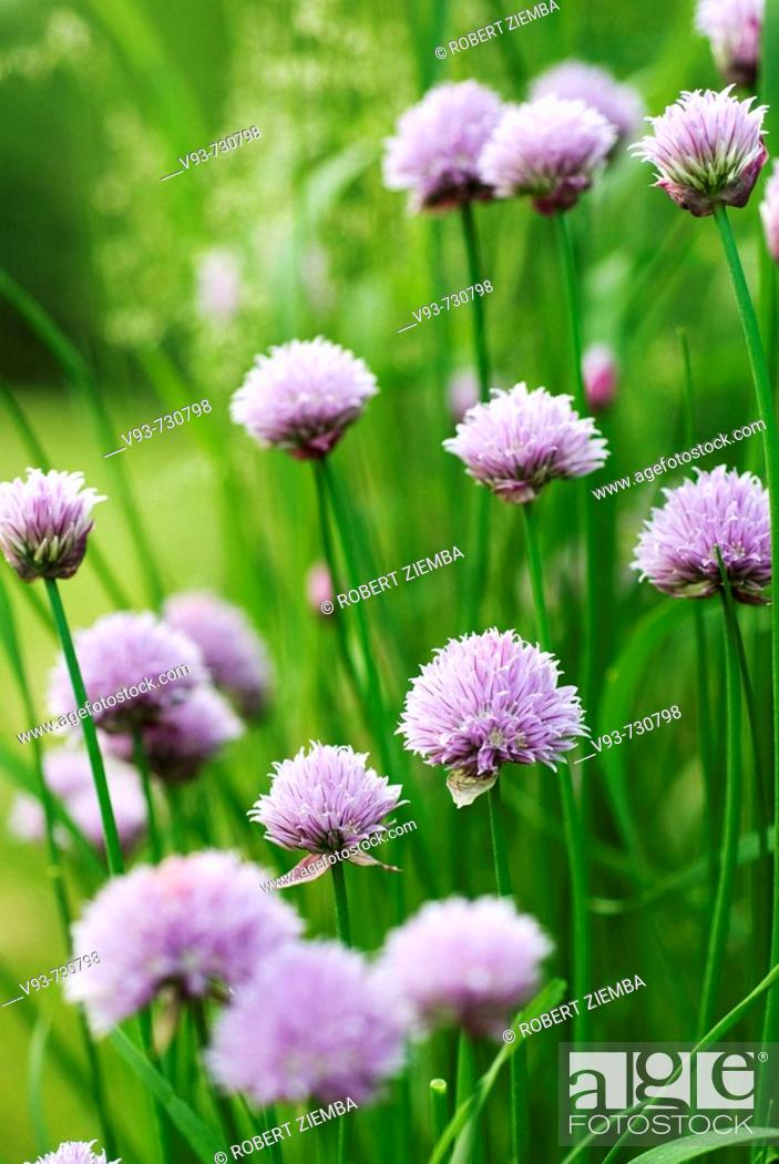 Stock Photo: Chives in bloom.