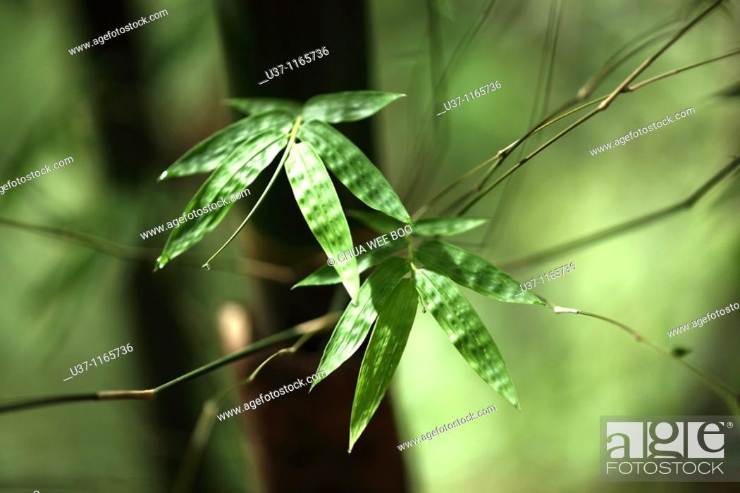 Stock Photo: Bamboos.