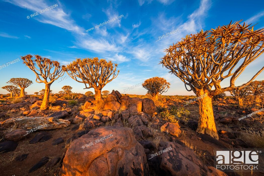 Photo de stock: The Quiver Tree Forest (Kokerboom Woud in Afrikaans) is a forest and tourist attraction of southern Namibia. It is located about 14 km north-east of.