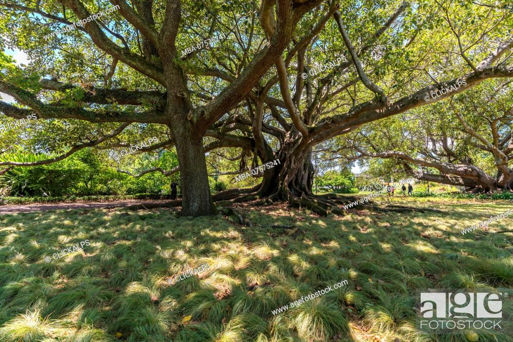 Stock Photo: Moreton Bay Fig in Albert Park, Auckland City, Auckland region, North Island, New Zealand,.