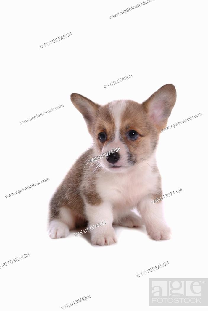 Imagen: canines, animal, domestic, corgi, dog, puppy, pet.
