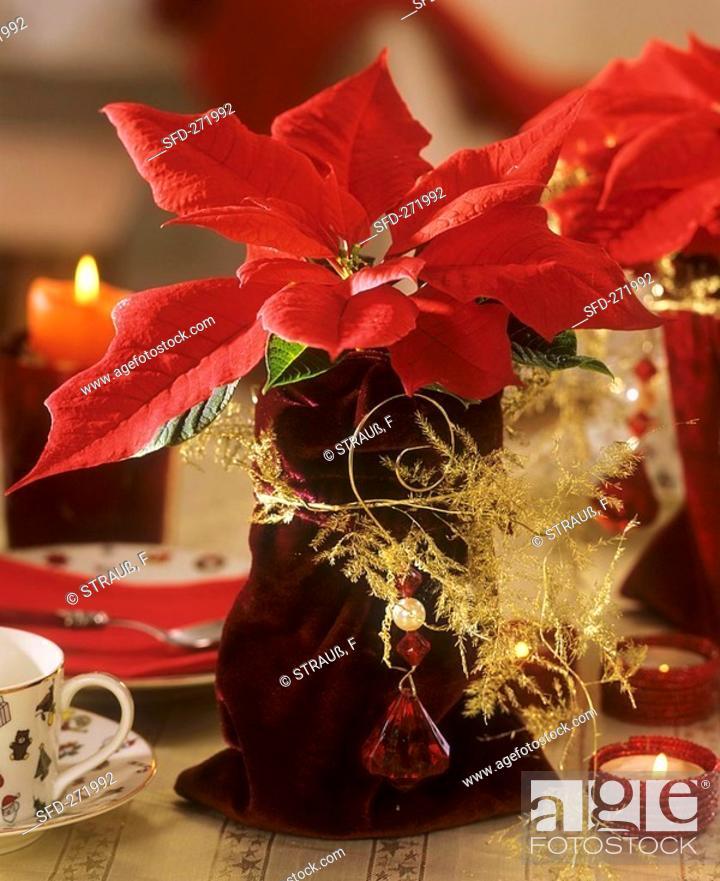 Stock Photo: Poinsettia with velvet bag as cache-pot.