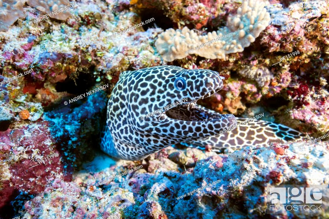 Stock Photo: Honeycomb Moray (Gymnothorax favagineus) on a coral reef, Indian Ocean, Maldive.