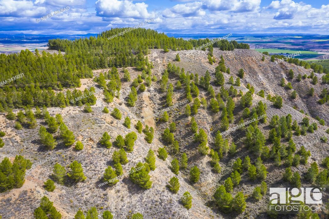 Imagen: Pine trees in a forestry area. Navarre, Spain, Europe.