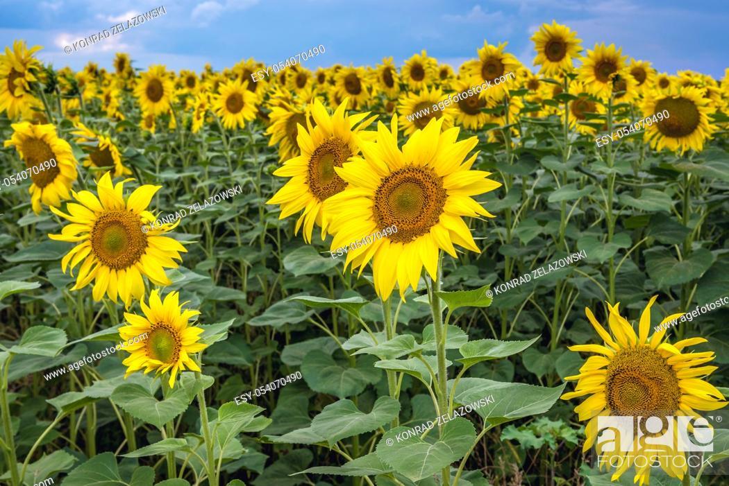 Stock Photo: Sunflowers on large field in Moldova.