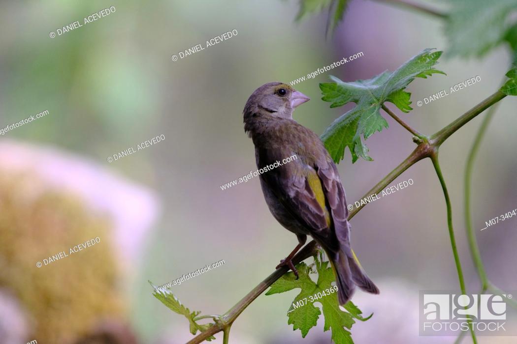 Imagen: European greenfinch, or just greenfinch (Chloris chloris) La Rioja, Spain.