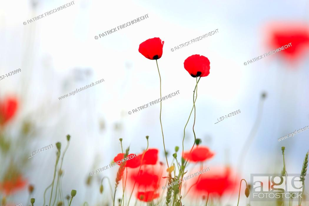Stock Photo: field poppy, Papaver rhoeas, Switzerland,.
