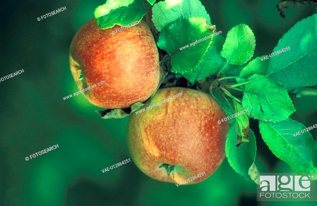 Stock Photo: day, apple tree, close-up, CLOSE, christoph, apple.