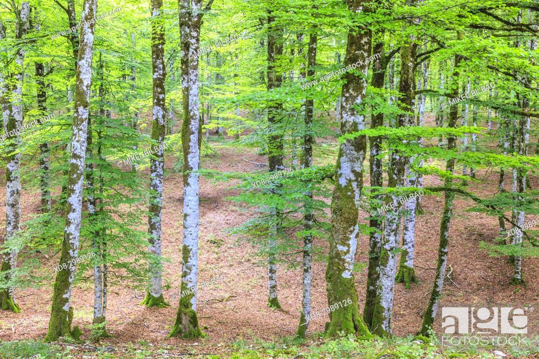 Stock Photo: Beechwood. Otsaportillo route. Urbasa-Andia Natural Park. Navarre, Spain, Europe.