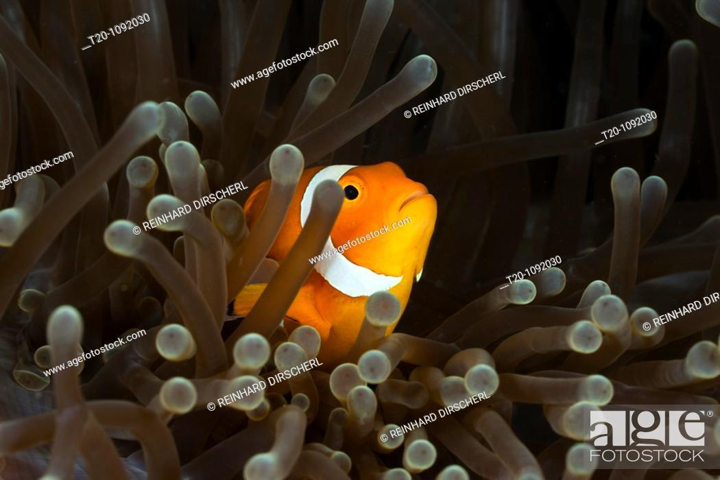 Stock Photo: Clown Anemonefish, Amphiprion ocellaris, Raja Ampat, West Papua, Indonesia.