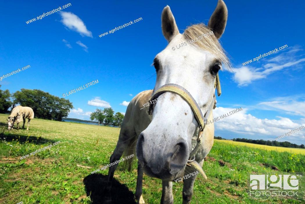 Stock Photo: Two horses on a field, Östergötland, Sweden, Europe.