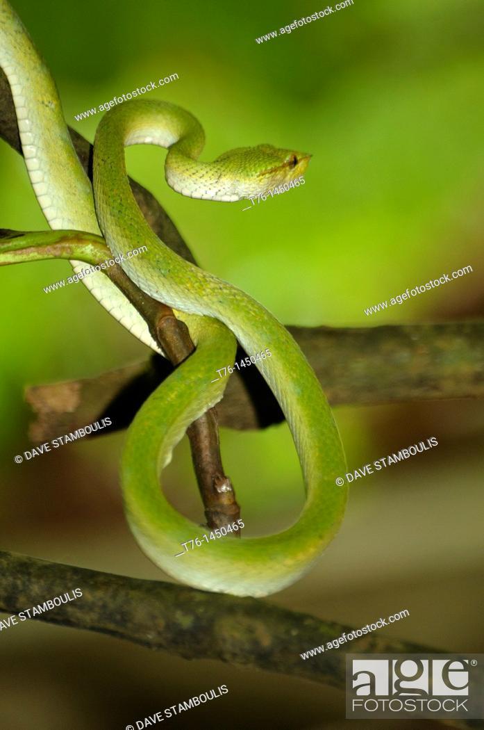 Stock Photo: Wagler's pit viper in Bako National Park in Sarawak, Borneo, Malaysia.