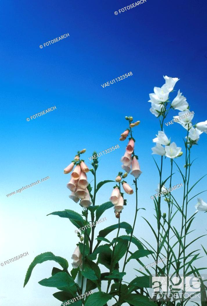 Stock Photo: blue, Bell, Bernhard, bellflowers, bellflower, allergy.