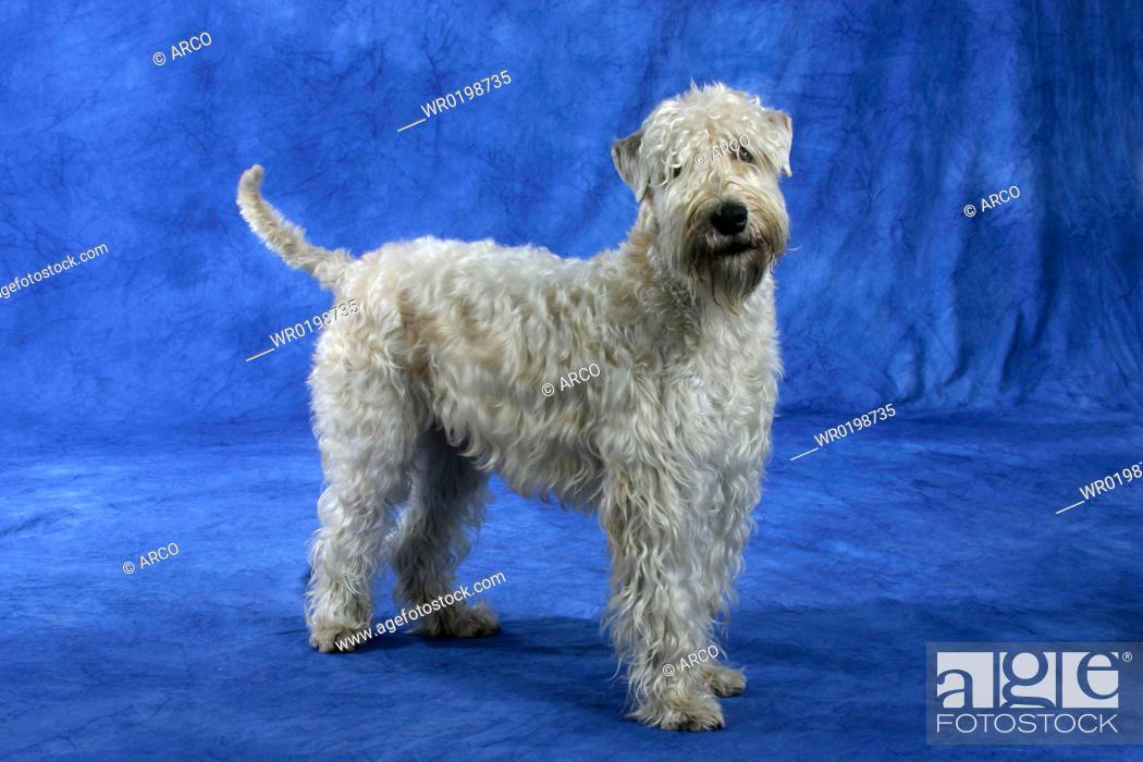 Stock Photo: Irish, Soft, Coated, Wheaten, Terrier.