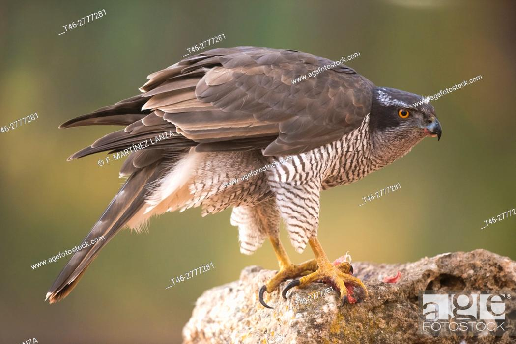 Imagen: goshawk (Accipiter gentilis). Photographed in Cuenca.