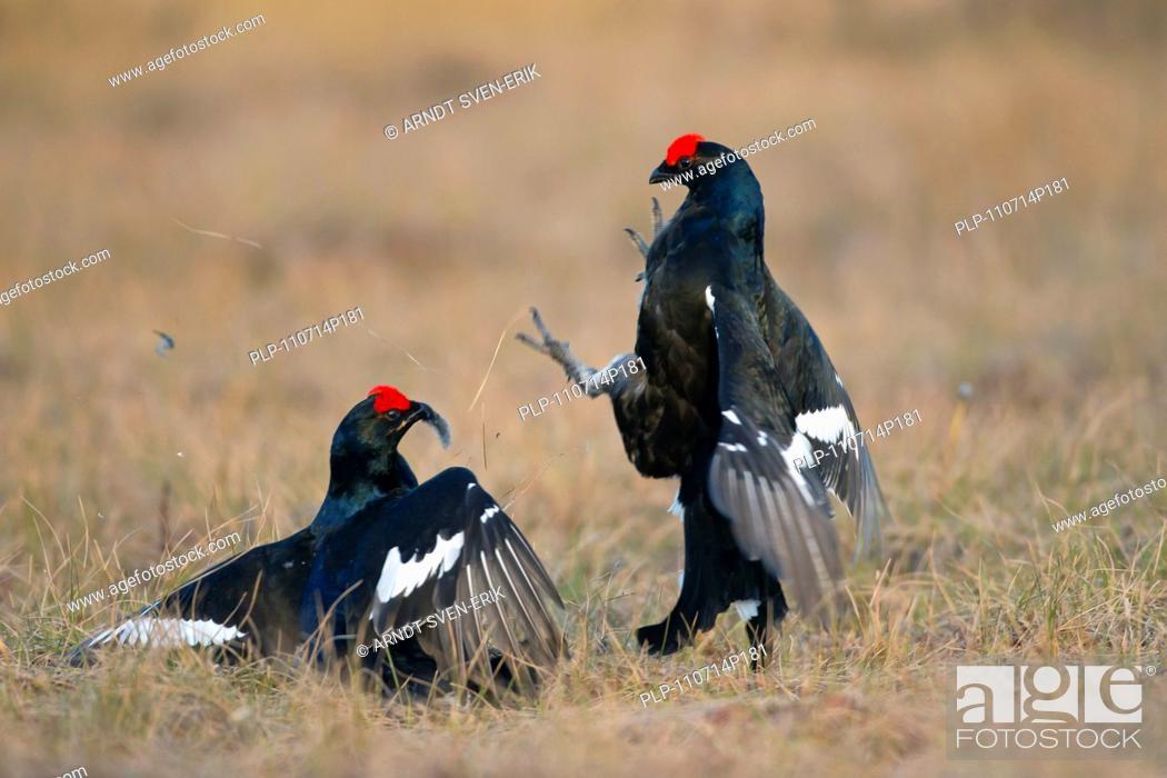 Stock Photo: Black grouse Lyrurus tetrix / Tetrao tetrix two cocks fighting at lek, Dalarna, Sweden.