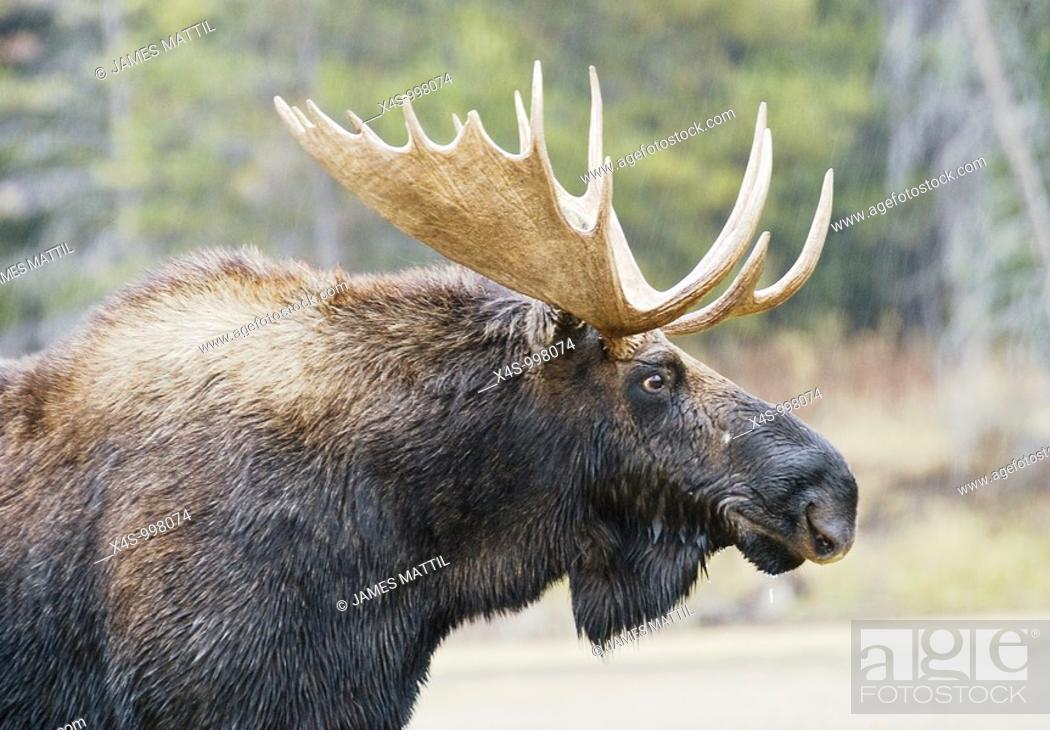 Stock Photo: Close-up portrait of a bull moose with antlers in Grand Teton National Park, Wyoming.