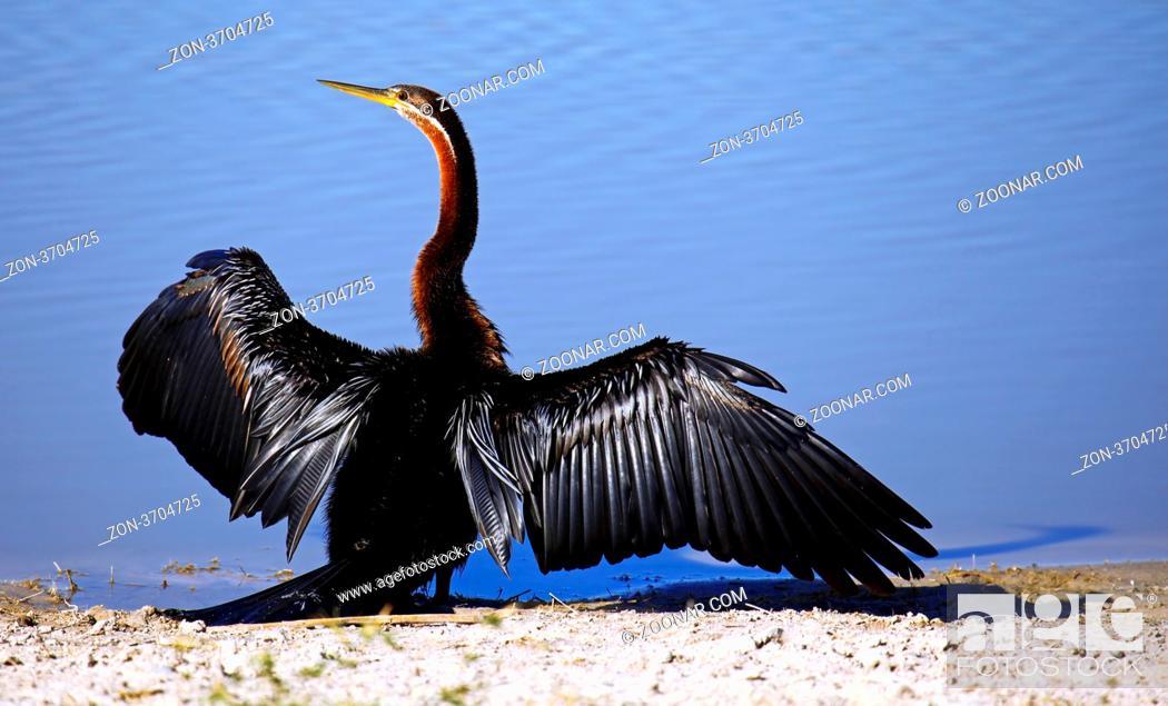Stock Photo: Schlangenhalsvogel, African darter, Anhinga rufa, Moremi Game Reserve, Botswana, Botsuana.