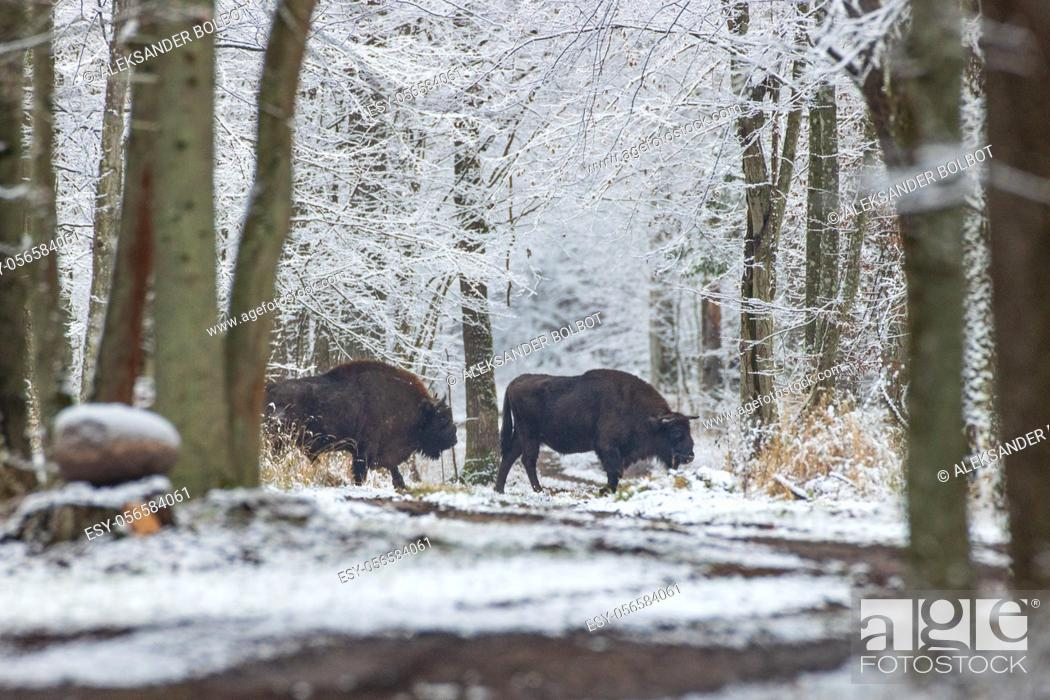 Stock Photo: Two adult European bisons(Bison bonasus) crossing forest dirt road in winter, Bialowieza Forest, Poland, Europe.