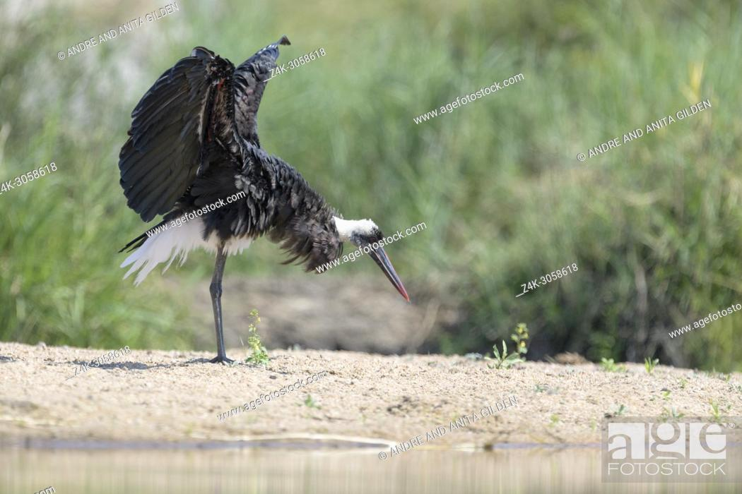 Stock Photo: Woolly-necked stork (Ciconia episcopus) shaking his wings, Kruger National Park, South Africa.