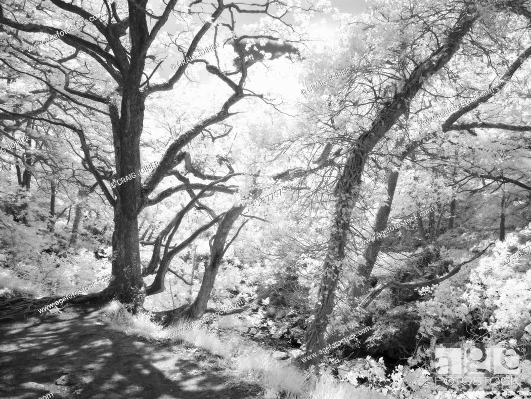 Stock Photo: An infrared image of sunlight in a woodland in the Brecon Beacons National Park, South Wales.