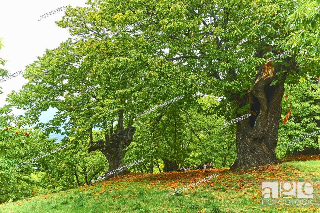 Stock Photo: Autumn, Chesnut forest, Castanea sativa, Valle del Genal, Genal Valley, Genal river valley, Serranía de Ronda, Málaga province, Andalusia. Spain.