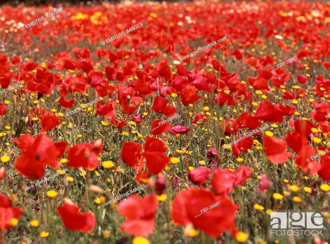 Stock Photo: Red poppy seeds.