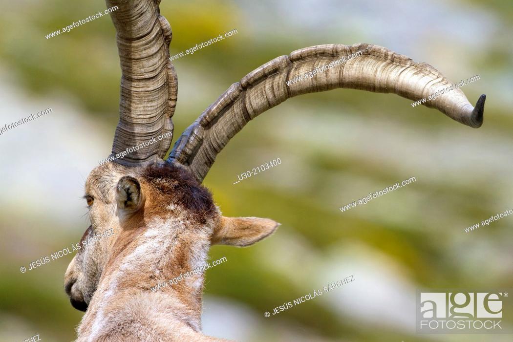 Stock Photo: Old male of wild goat Capra pyrenaica in Sierra de Gredos Regional Park, Ávila. Castilla y León, Spain.