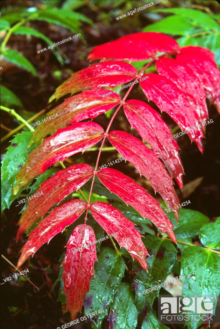 Stock Photo: Red Oregon Grape, Table Rock Wilderness, OR.
