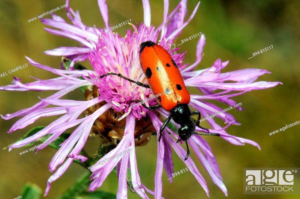 Stock Photo: Leaf Beetle (Lachnaia vicina). Collserola, Barcelona, Catalonia, Spain.
