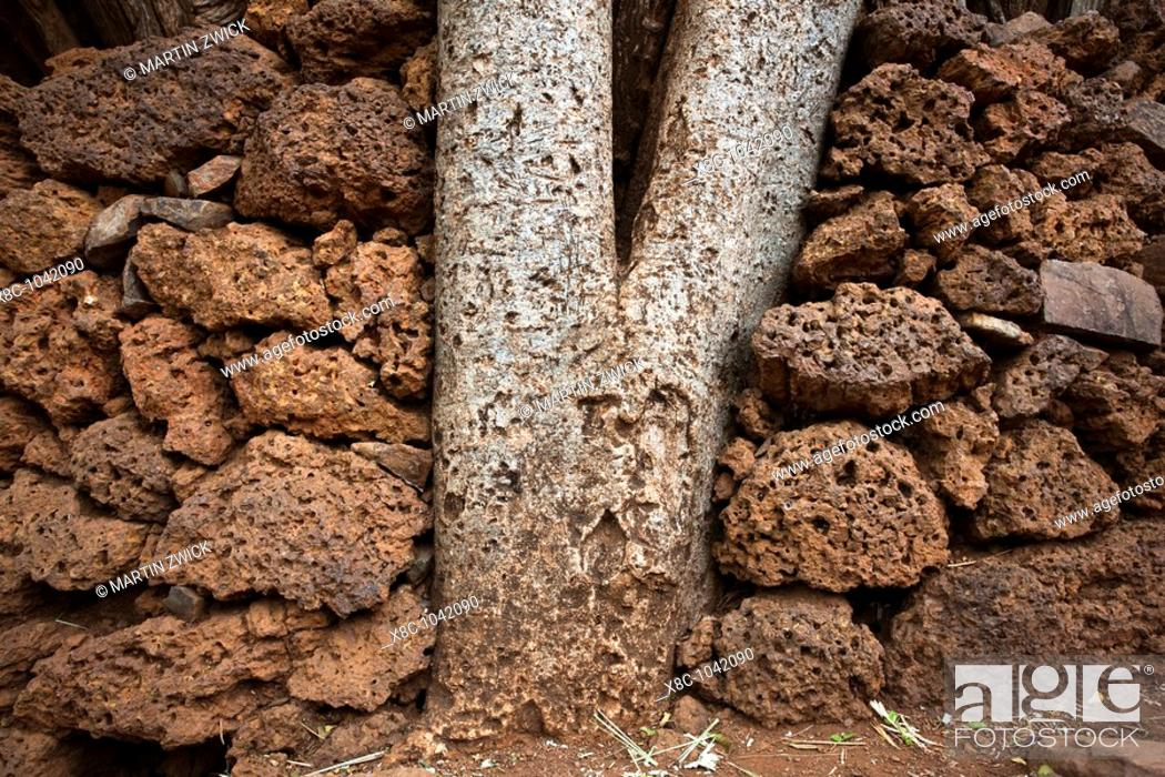 Stock Photo: Traditional Konso village on a mountain ridge overlooking the rift valley  tree in dry stone wall of a pathway  The Konso are living in tradtional villages with.