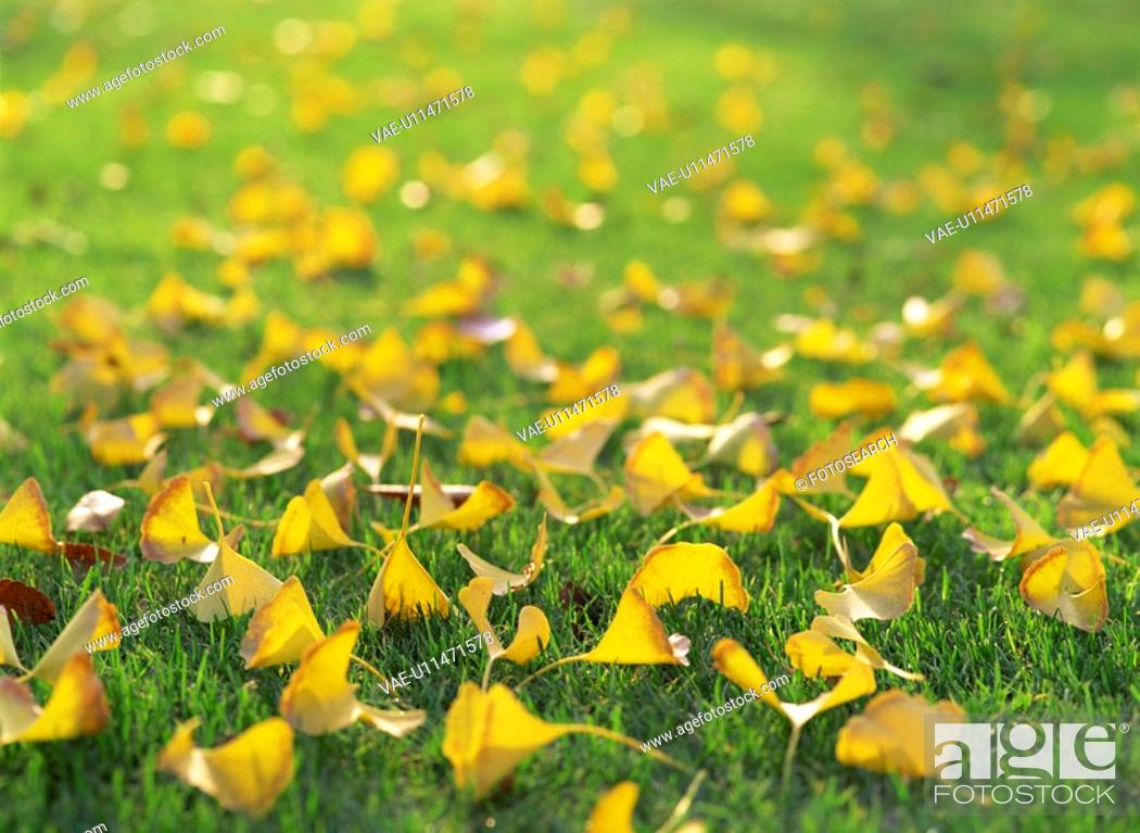 Stock Photo: Yellow Leaves Of The Ginkgo Tree On A Lawn.