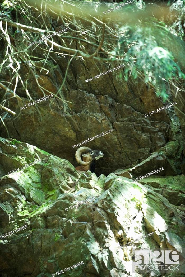 Stock Photo: Mouflon in rocky terrain.