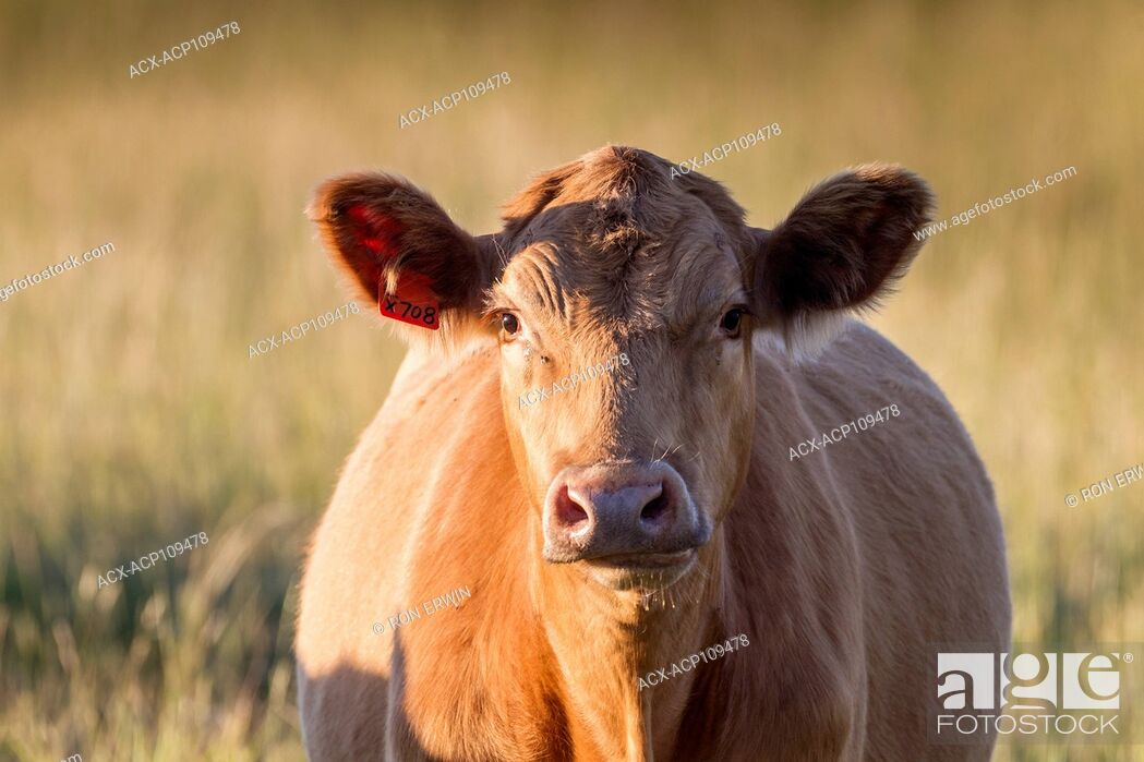 Photo de stock: Red Angus, charolais cross cow, Barrie Island, Ontario, Canada.