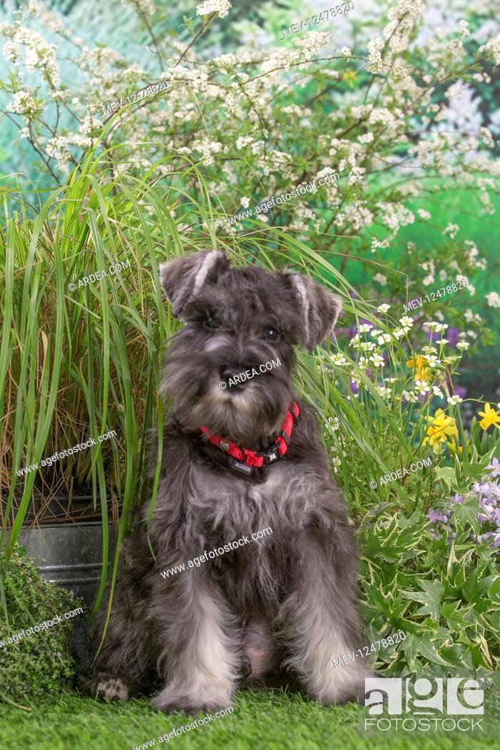 Stock Photo: Miniature Schnauzer dog outdoors in the garden.