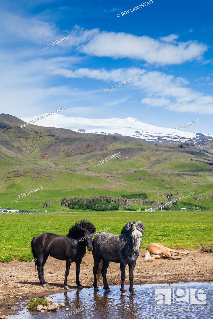 Stock Photo: Icelandic horses in the shadow of the Eyjafjallajokull volcano.