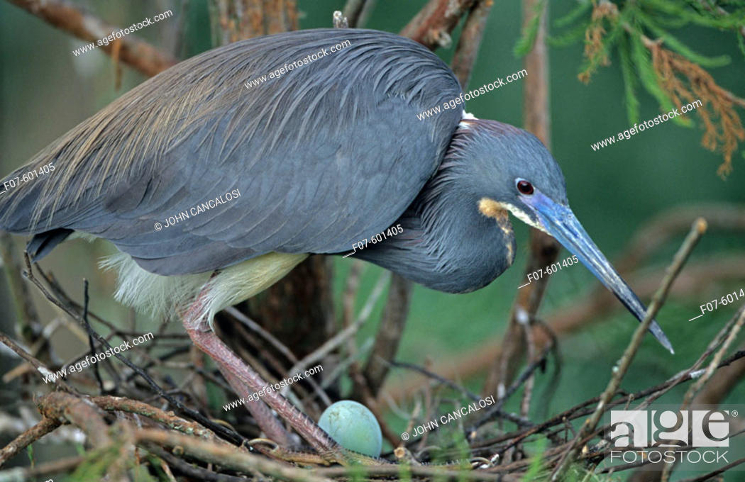 Stock Photo: On nest with egg -Common inhabitant of salt marshes and mangrove swamps of the east and gulf coasts. Rare inland but has bred in North Dakota and Kansas.