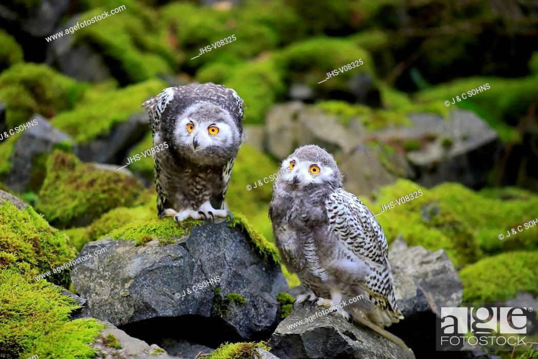 Stock Photo: Snowy Owl, (Nyctea scandiaca), two young siblings, Scandinavia, Europe.