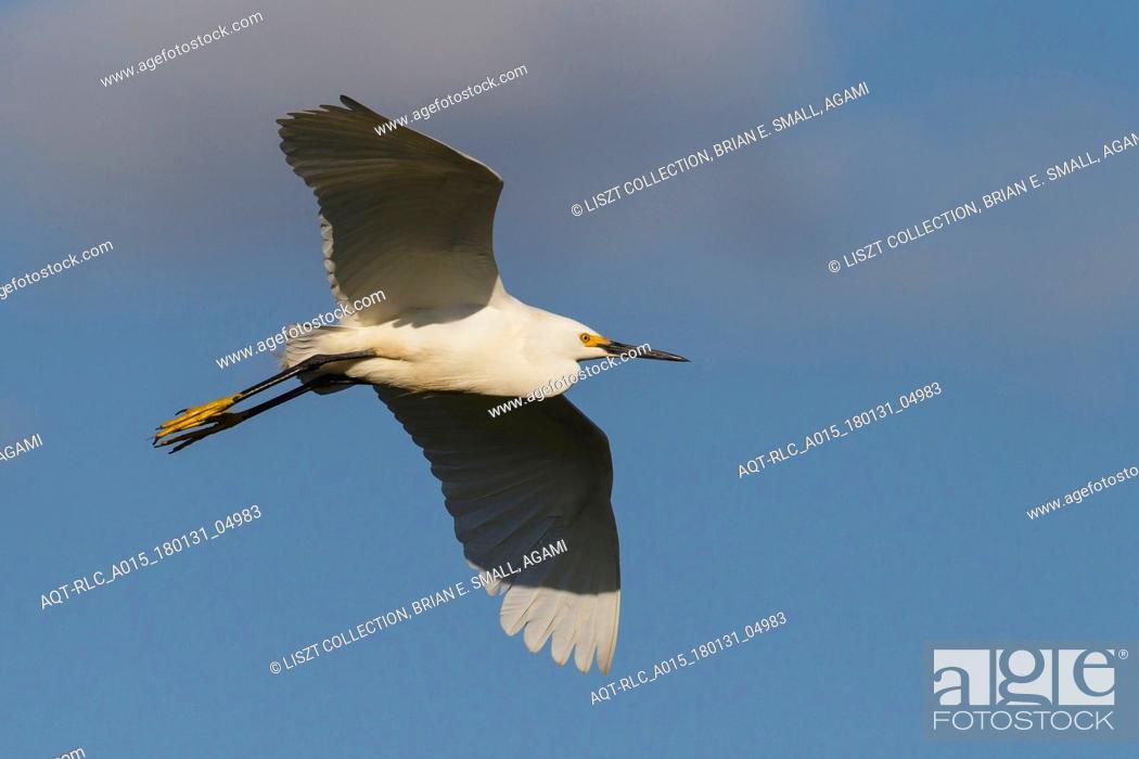 Stock Photo: Egretta thula, Snowy Egret.