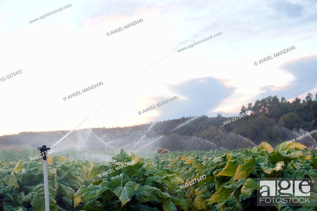 Stock Photo: Tobacco plants growing in fertile La Vera region, Caceres, Extremadura.
